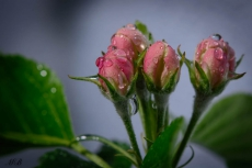 Apfelblüte 2