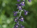 EBra - violettrote Stendelwurz