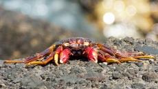 09_rote Krabbe (Grapsus adscensionis)