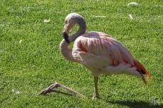 14_Flamingo im Loro Park