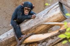 15_Schimpansenjunge im Loro Park