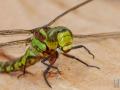 Libelle_auf_Holz