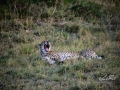 Gepard1