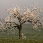 Alter Baum im Nebel und mit Rauhreif geschmückt